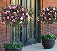 Cottage Farms 2-n-1 Burgundy & Pink Iceberg Patio Rose Tree - M48987