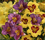 Cottage Farms Perpetuals Blooming Daylily Collection - M53287