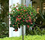Cottage Farms Confetti Lantana Patio Tree - M29688