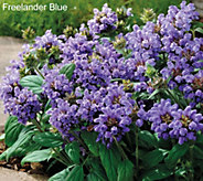 Robertas 6-piece Shady Self Heal Prunella Groundcover - M49090