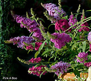 Cottage Farms 3-N-1 Compact Buzz Butterfly Bush - M53290