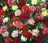 Robertas 6-piece Large and Fragrant Flow Series Dianthus - M53091