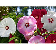 Cottage Farms 3-N-1 Dazzling Designs Bombshell Hardy Hibiscus Plant - M53291