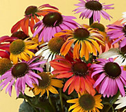 Robertas 4-piece Color Changing Echinacea Collection - M53092