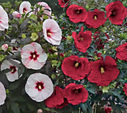 Cottage Farms 2-pc Top Shelf Giant Hardy Hibiscus - M53292