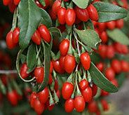 Robertas 3-pc. Sweet and Big Nurturing Goji Berry Collection - M43093
