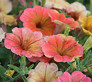 Cottage Farms 6-pc. Indian Summer Multi-Colored Petunias - M46293