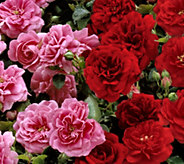 Cottage Farms 4-piece Freedom Hedge Rose Collection - M48993