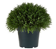 National Tree Feel Real 15 Globe Cedar Shrub w/Growers Pot - M49193