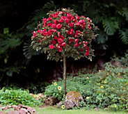 Cottage Farms Cherry Cyclone 36 Tree Rose - M48994