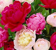 Brecks Mammoth 5-pc. Fragrant Peony - M51894