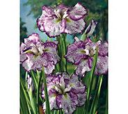 Brecks Mammoth 3-pc. Large Japanese Iris - M51896