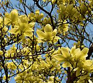 Cottage Farms Magnolia Butterflies Tree - M46299