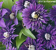 Robertas 4-piece Long Blooming Grandiose Clematis - M49099