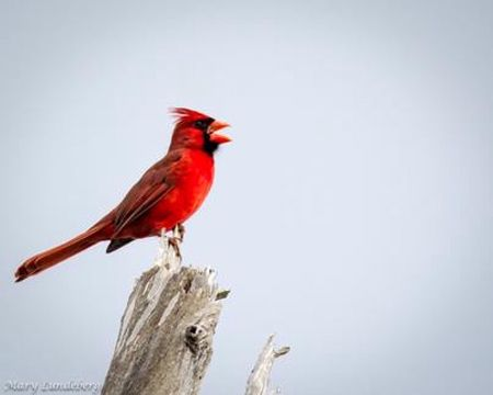 Image result for red cardinal singing