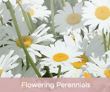Cottage Farms Everblooming Shasta Daisy Collection