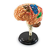 Brain Anatomy Model by Learning Resources - T120849