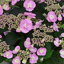 508600 - Plants2Gardens Hydrangea Cotton Candy in 3 Litre Square Planter