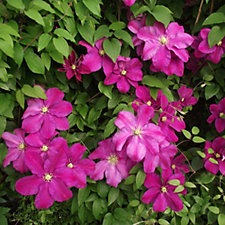 Mont Rose of Guernsey 3 x Large Flowered Clematis in 7cm Pots