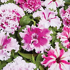 507502 - Thompson & Morgan 24 x Petunia Art Deco Plants in Strip Trays