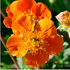 Claire Austin 3 x Geum Collection 9cm Pot Plants