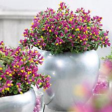 Hayloft Plants Polygala Purple Passion in  11cm pot