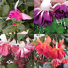 Mont Rose 12 x Giant Flowered Fuchsia Marbeller Young Plants