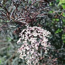 Plants2Gardens Sambucas Nigra Black Lace Shrub in 3 Litre Pot