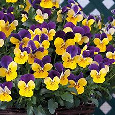 508805 - Hayloft Plants Viola Teardrops & Pansy Frizzle Sizzle 24 Young Plants