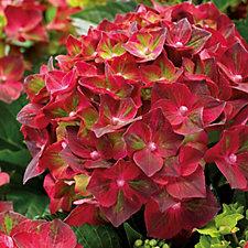 Hayloft Plants 1 x Hydrangea Magical Ruby Tuesday in 12cm Pot