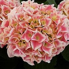 516806 - Plants2Garden Hydrangea Candy Heart Pink