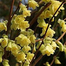507407 - Plants 2 Gardens Corylopsis Pauciflora Hardy Shrub