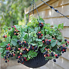 Thompson & Morgan 2 x Blackberry Black Cascade 9cm Pots