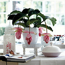 Hayloft Plants Medinilla Dolce Vita Plant in 14cm Pot