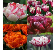 Mont Rose of Guernsey 25 x Peony Multi Flowered Tulip Bulbs