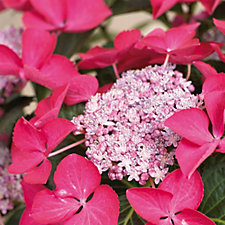 Hayloft Hydrangea Dark Angel Young Plant