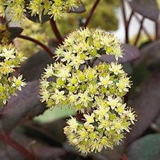 507911 - Hayloft Plants 3 x Sedum Young Plants