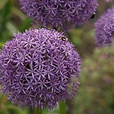 Mont Rose of Guernsey 3 x Allium Dutchman Bulbs