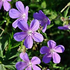 Claire Austin 3 x Neat Hardy Geraniums Young Plants