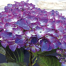 Hayloft Plants Hydrangea Black Diamonds Dark Angel in 3 Litre Pot