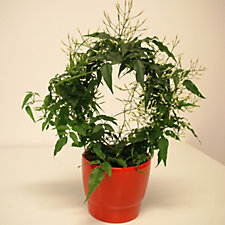 508813 - Mont Rose of Guernsey 1x Fragrant White Jasmine in Ceramic Pot