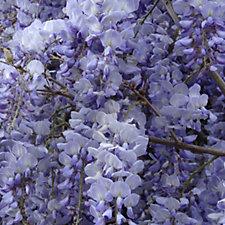 Plants2Gardens Wisteria Blue Moon in 6 Litre Pot