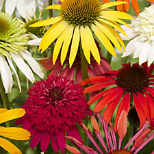 Hayloft Plants 6 x Echinacea Breeders Mix Bare Roots
