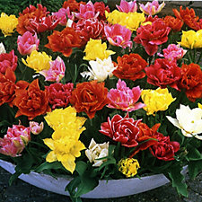 517513 - Mont Rose 20 x Tulip Double Flowered Mixed Bulbs