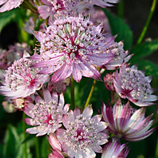 Claire Austin 3 x Perfect Astrantias in 9cm Pots