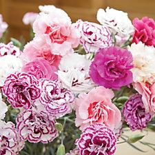Thompson & Morgan 20 x Dianthus Frills & Fragrance Mix Plug Plants
