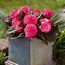 Hayloft Plants 6 x Begonia Mocca Young Plants
