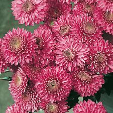 Hayloft Plants 12 x Spray Chrysanthemum Young Plants