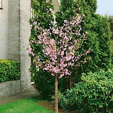 Plants2Gardens Prunus Nipponica Ruby in 5 Litre Pot