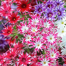 Thompson & Morgan 36 x Phlox Popstars Plug Plants